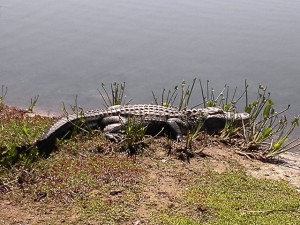 There are gators too.. saw this one on the golf course... took the stroke penalty and safely went on my way golfing...